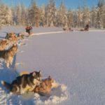 Traîneau en Laponie
