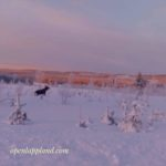 Lapland wildlife