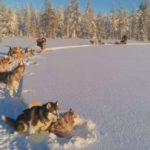 Sledding in Lapland