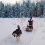 lapland sled dog with children