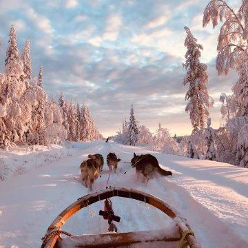 parcourez la laponie avec nos chiens de traineaux